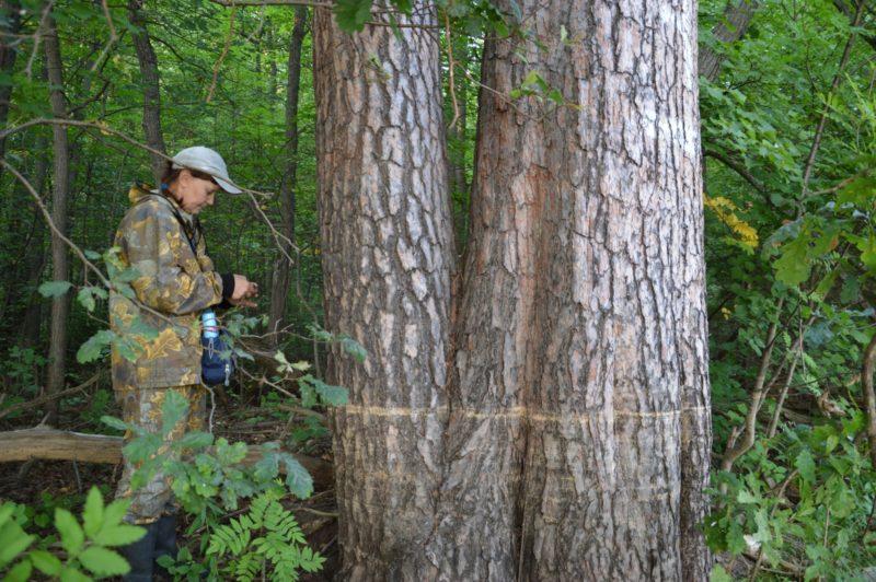 Уровень половодья 2016 на стволах гигантских сосен. Фото Е. П. Лачоха