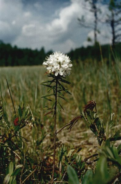 Багульник болотный. Фото Е. М. Тарасовой