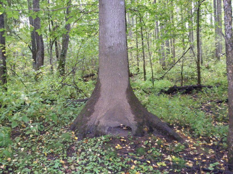 Ель, с подмытыми половодьем корнями. Фото Л. Г. Целищевой