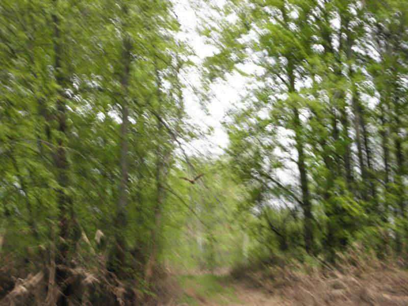 Летучая мышь днём над лесной дорогой в заповеднике Нургуш. Фото Л. Г. Целищевой.
