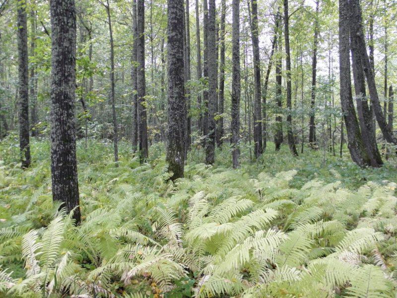 Липово-страусниковый лес. Фото Л. Г. Целищевой