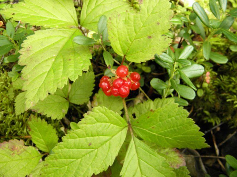 Плоды костяники. Фото Л. Г. Целищевой