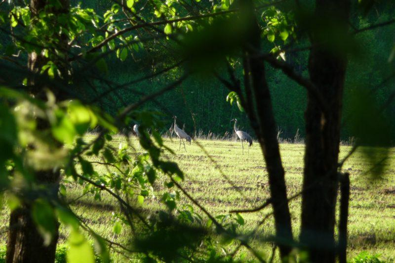 Журавли на поле. Фото М. Ю. Кузьминых