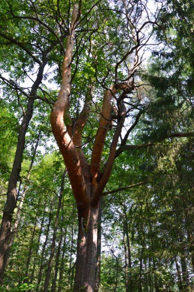 Дерево-волк в июле. Фото Е.П. Лачоха