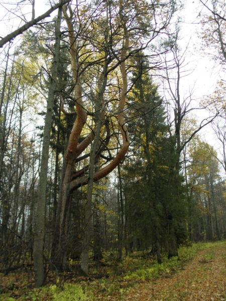 Дерево-волк. Фото Л. Г. Целищевой