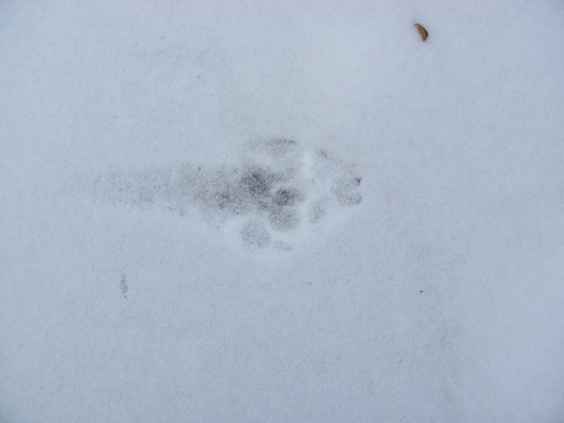 След волка на снегу. Фото Л. Г. Целищевой