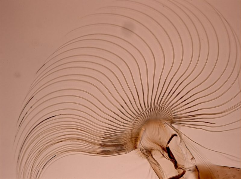 Рис. 2. Веер премандибулы личинки мошки. Фото С. В. Айбулатова