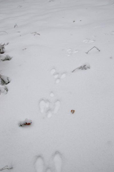 Цепочка следов зайца. Фото Е. П. Лачоха