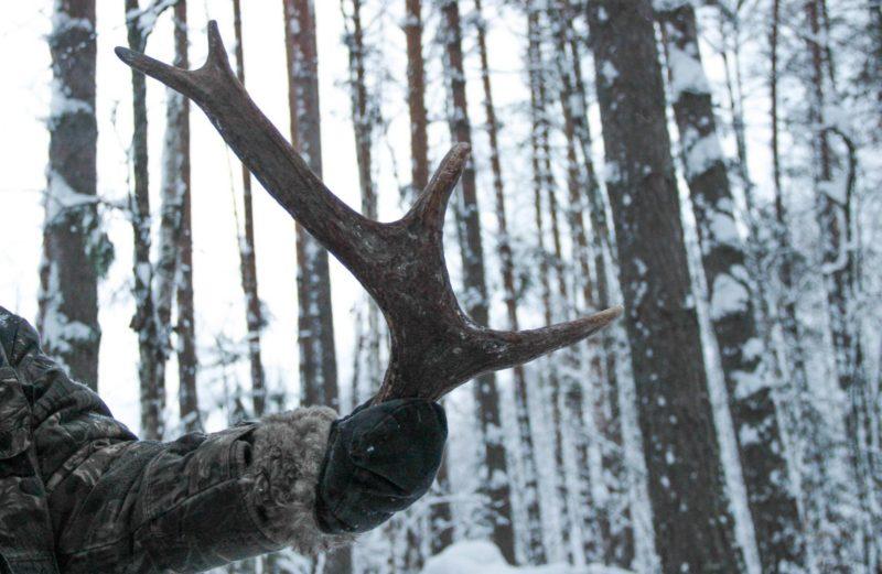 Рог лося. Фото Е. В. Князевой