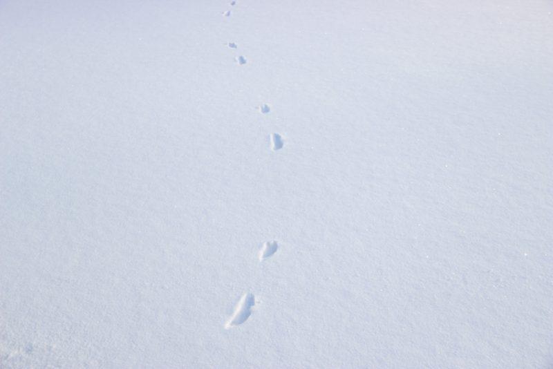 Следовая дорожка горностая. Фото Е. В. Князевой