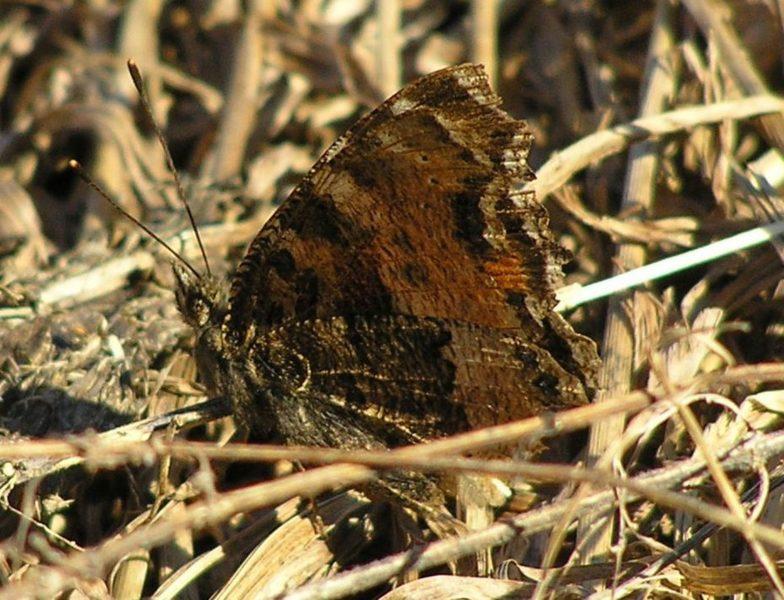 Крапивница - маскировочный испод крыла. Фото Л.Г. Целищевой