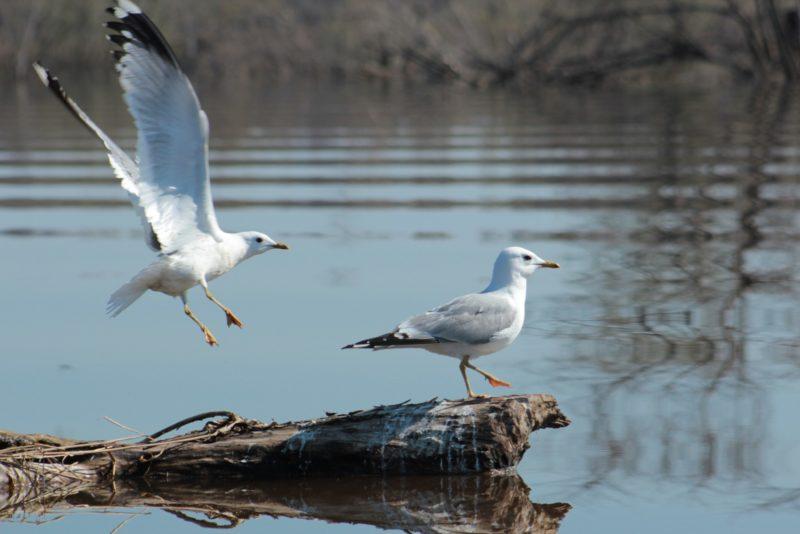 Сизые чайки.Фото Псёл Л.О.