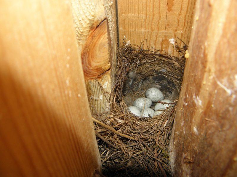 Гнездо трясогузки. Фото Л. Г. Целищевой