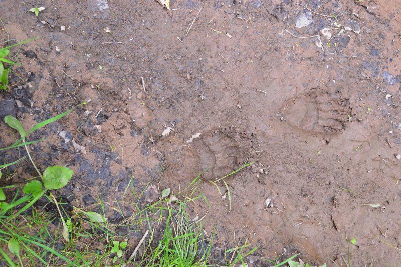 След бурого медведя. Фото Е. П. Лачоха