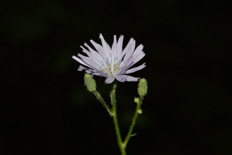 Цицербита уральская. Фото Е.П. Лачоха