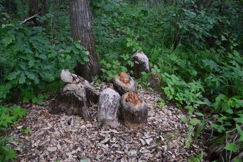 Зачем бобры едят дубы. Фото Е.П. Лачоха