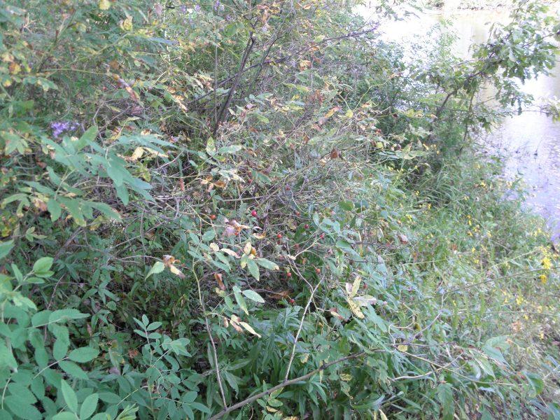 Грибные болезни на листьях осины. Фото Л.Г. Целищевой