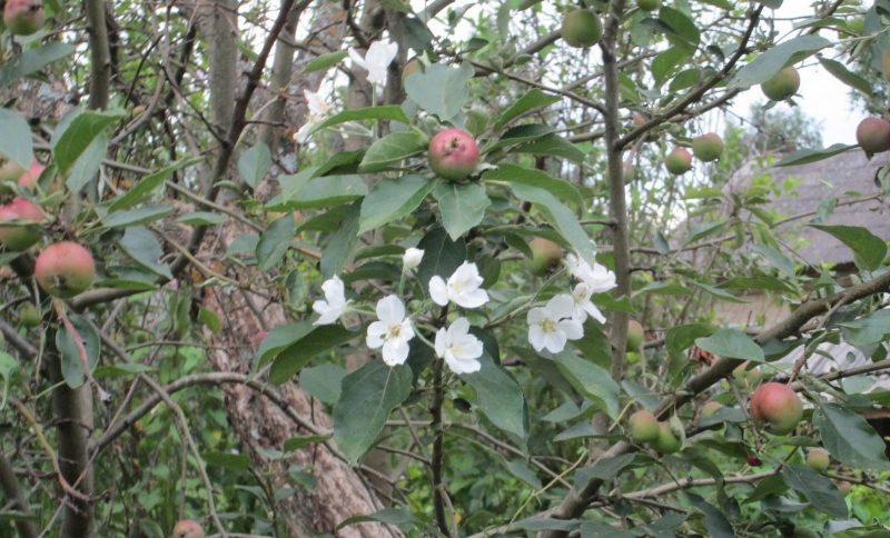 Цветение яблони в августе. Фото В.А. Брагина