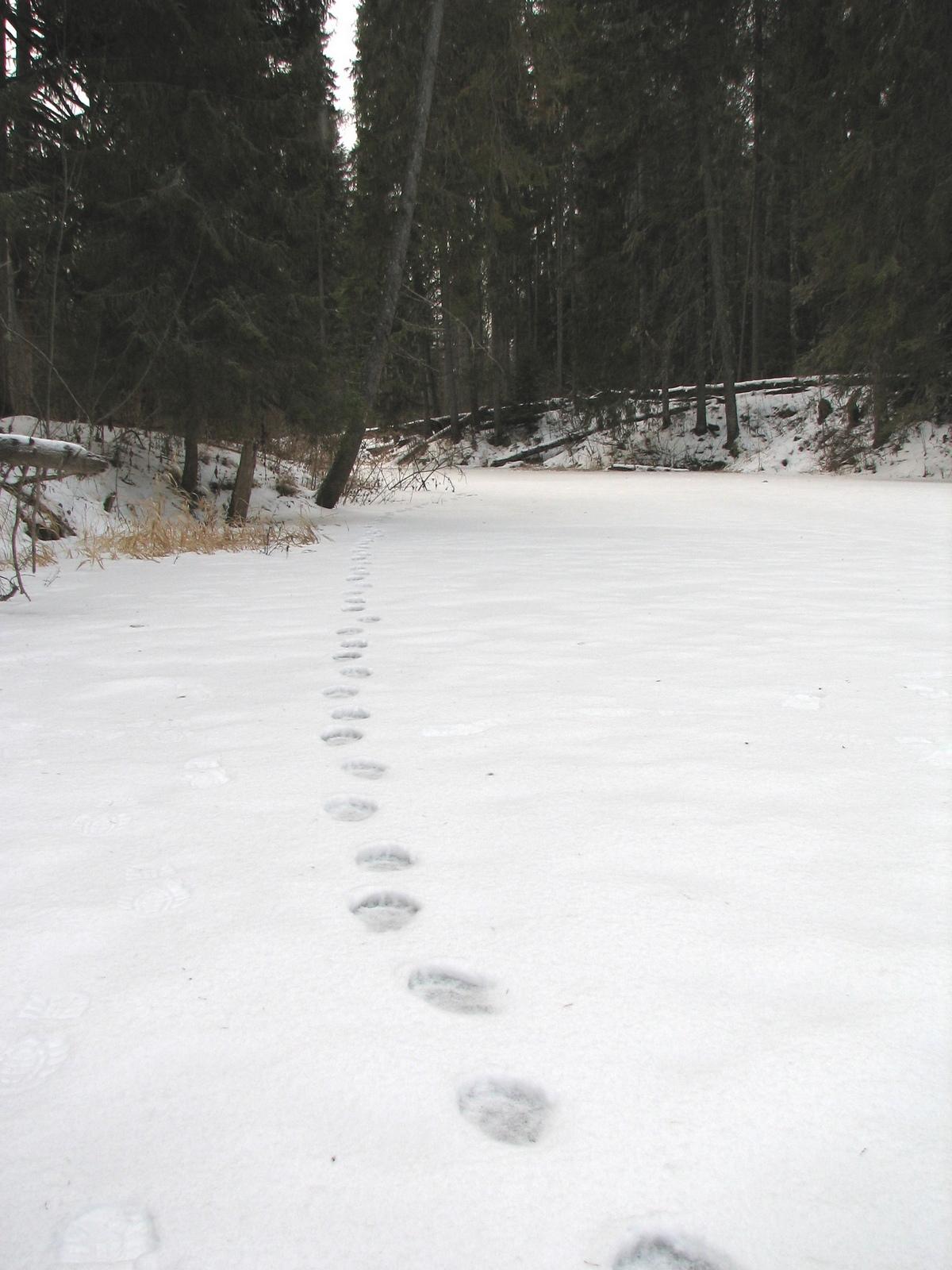 ученик снимать следы росомахи на снегу фото наливаю