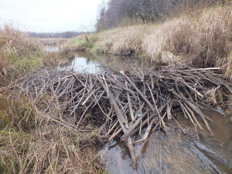 Бобровая плотина. Фото С.В. Бакка