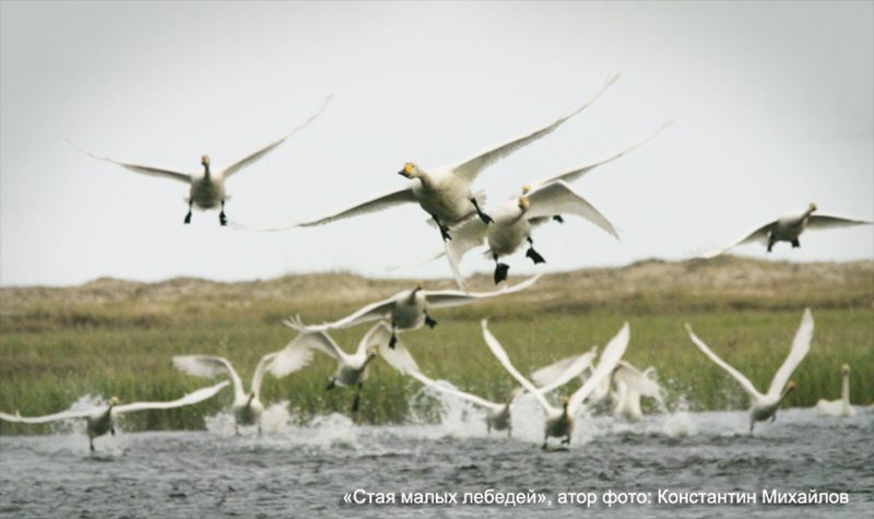 Лебеди Глотов