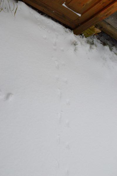 Следы мышей. Фото Е. П. Лачоха