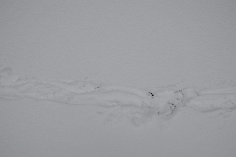 Следы выдры. Фото Е. П. Лачоха
