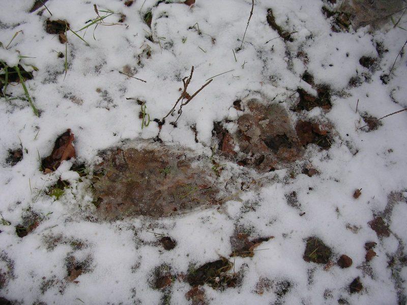 След передней и задней лапы медведя на снегу. Фото С. Е. Шубина