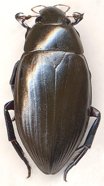Водолюб Hydrophilus piceus Linnaeus (Hydrophilidae) - атлас жуков России (сканографии О.Э.Берлова)