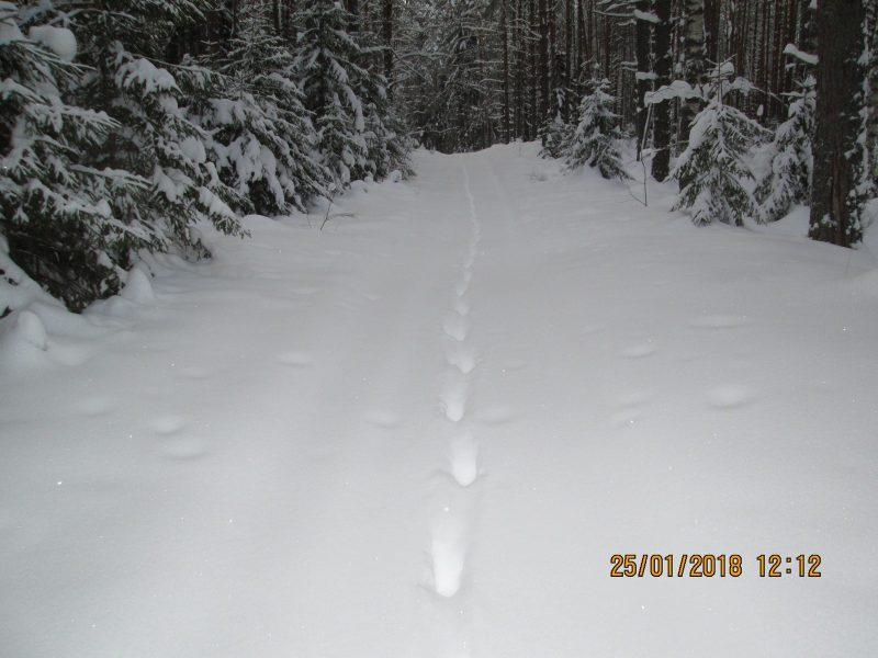 Две рыси идут след в след. Фото В.А. Брагина
