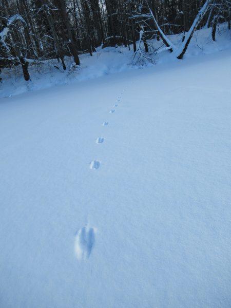 Следы куницы через озеро. Фото Е.М. Тарасовой