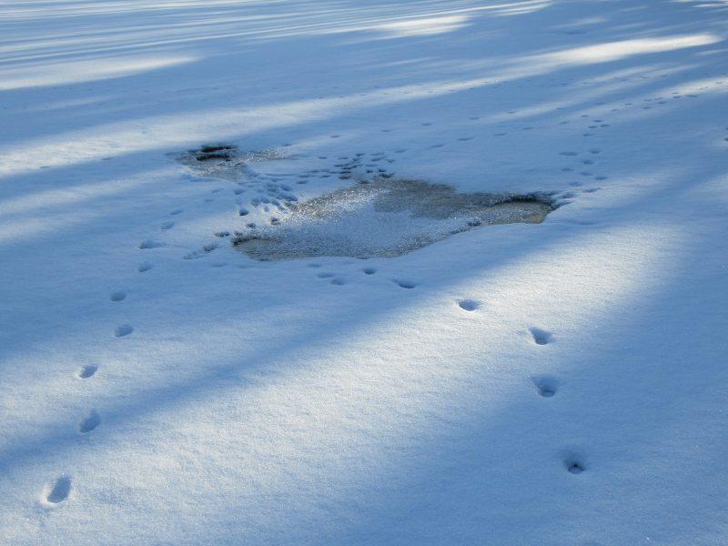 Следы лисицы возле полыньи на озере. Фото Е.М. Тарасовой
