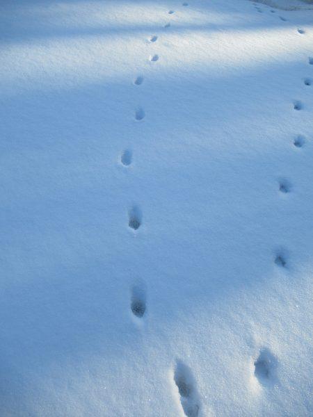 Следы лисицы. Фото Е.М. Тарасовой