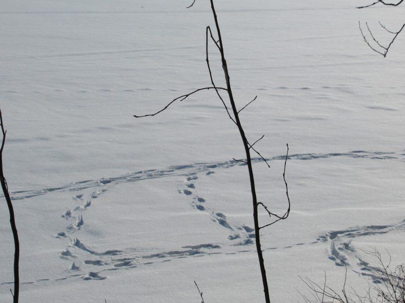 Следы лосей по льду озера. Фото Е.М. Тарасовой