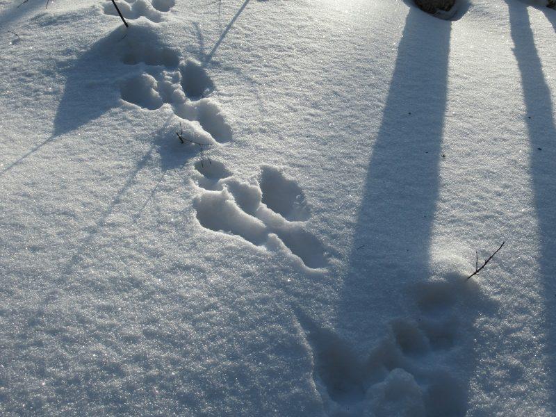 Следы зайца. Фото Е.М. Тарасовой