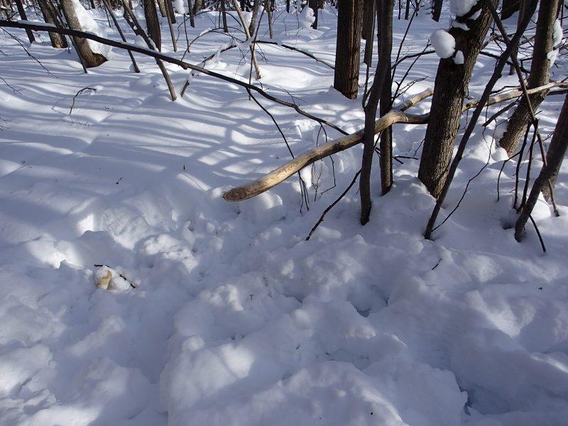 Ветка, обглоданная лосями. Фото А.В. Михалицына