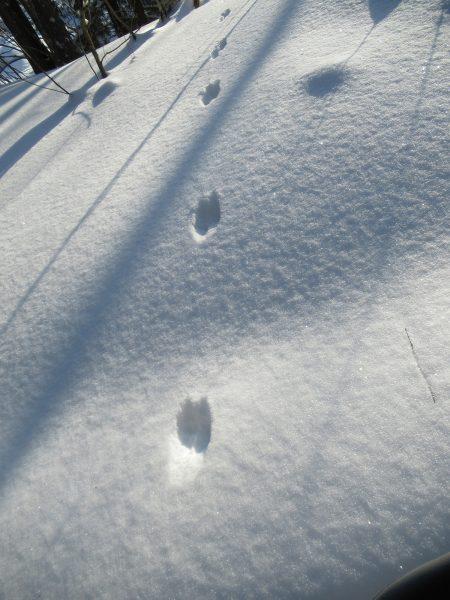 Следы горностая. Фото Е.М. Тарасовой