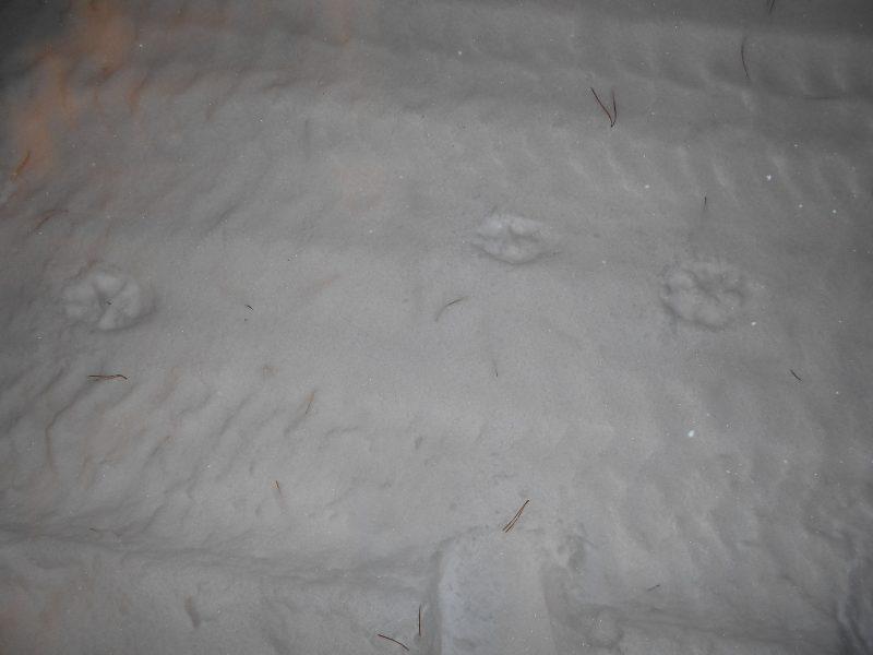 Следы волка. Фото Л.Г. Целищевой
