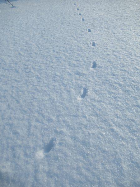 Цепочка следов горностая. Фото Е.М. Тарасовой
