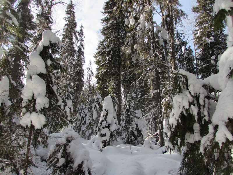 Заснеженный лес. Фото Е.В. Рогожниковой