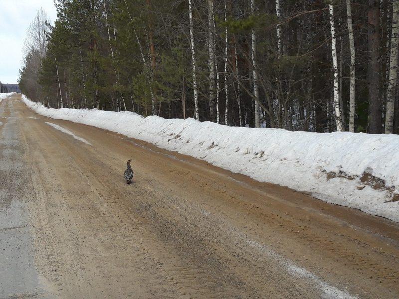 Глухарка на весенней дороге. Фото М. Н. Владыкиной