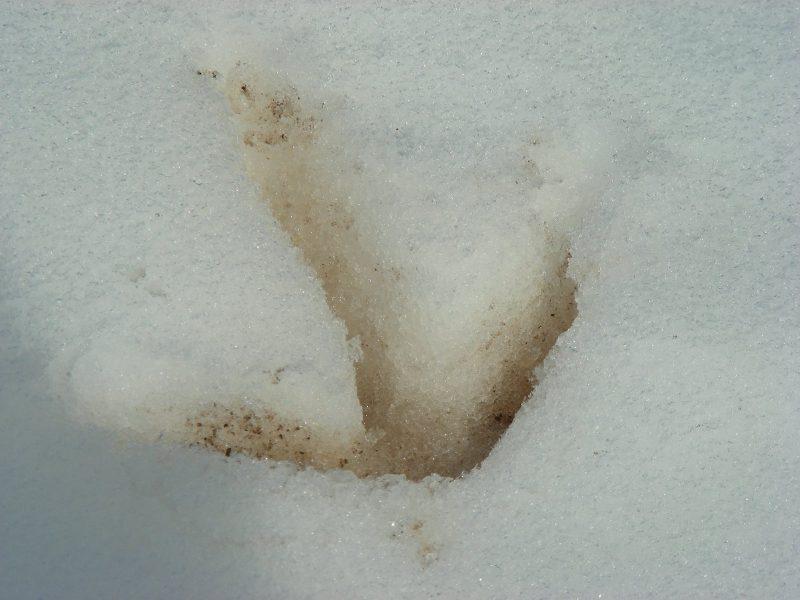 След серого журавля на снегу. Фото С.В. Кондруховой