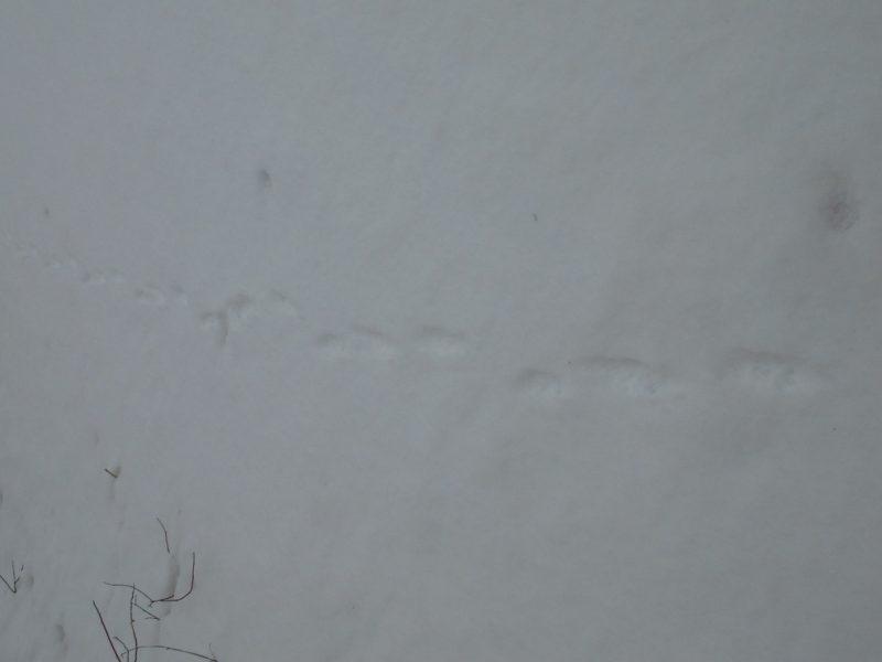 Следы енотовидной собаки. Фото Е.П.Лачоха