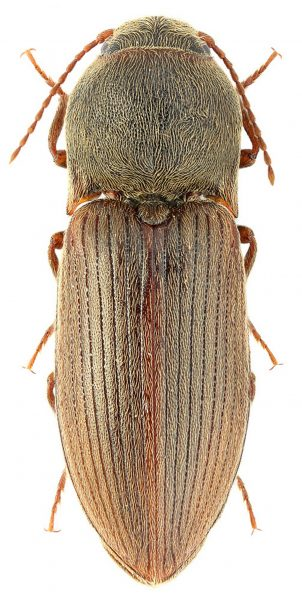 Щелкун Agriotes obscurus. Фото интернет-источник