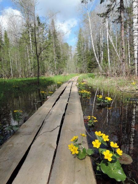 Калужница болотная на «Тропе Йети». Фото Е. М. Тарасовой