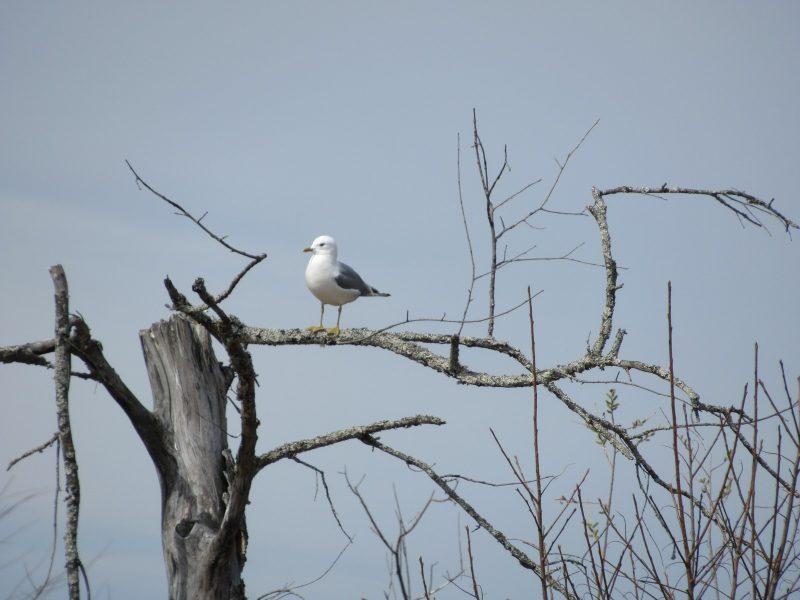 Сизая чайка. Фото Е.М. Тарасовой