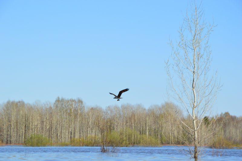 Скопа с добычей в полете. Фото Е. П. Лачоха