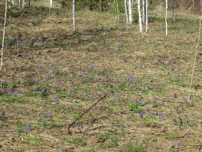 Цветение хохлатки. Фото С.В. Кондруховой