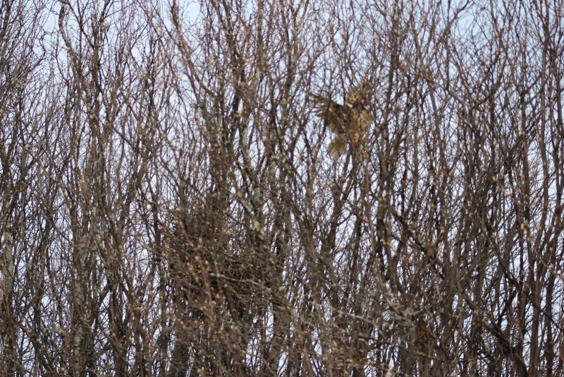 Ушастая сова у гнезда. Фото В.А. Бабина
