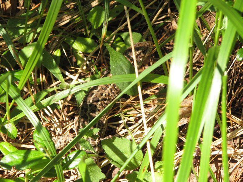 Ящерица прыткая. Фото Е. В. Рогожниковой